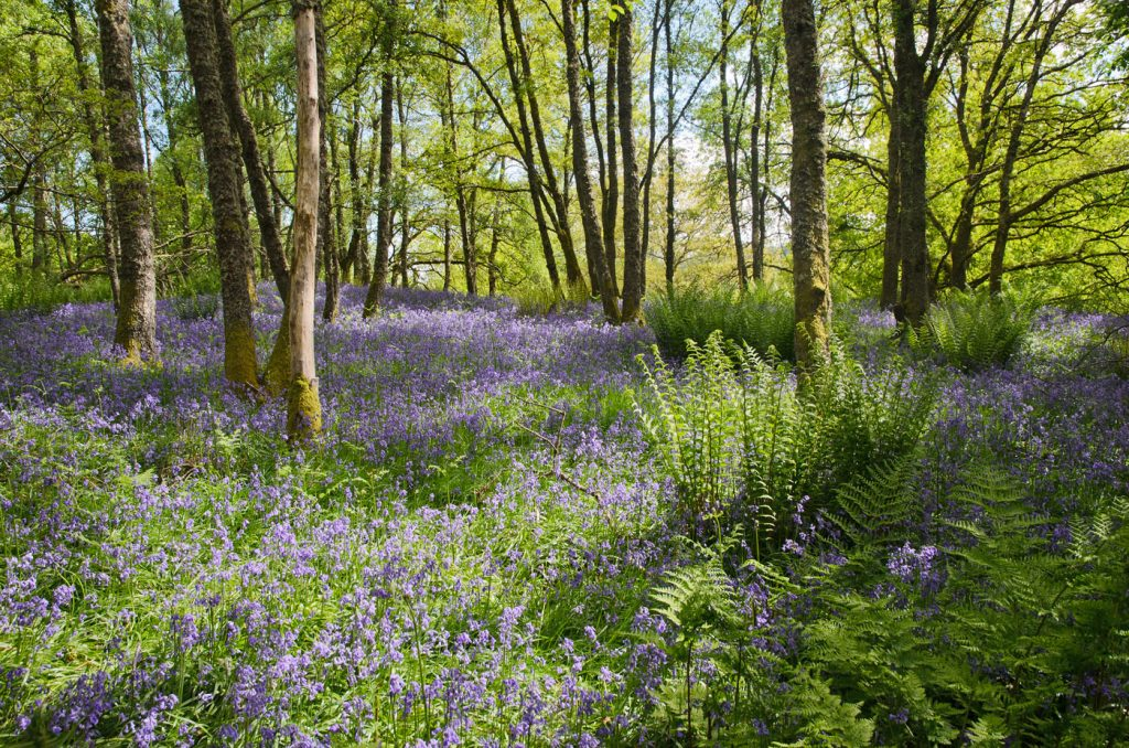 Trowan Bluebell Wood beside Crieff